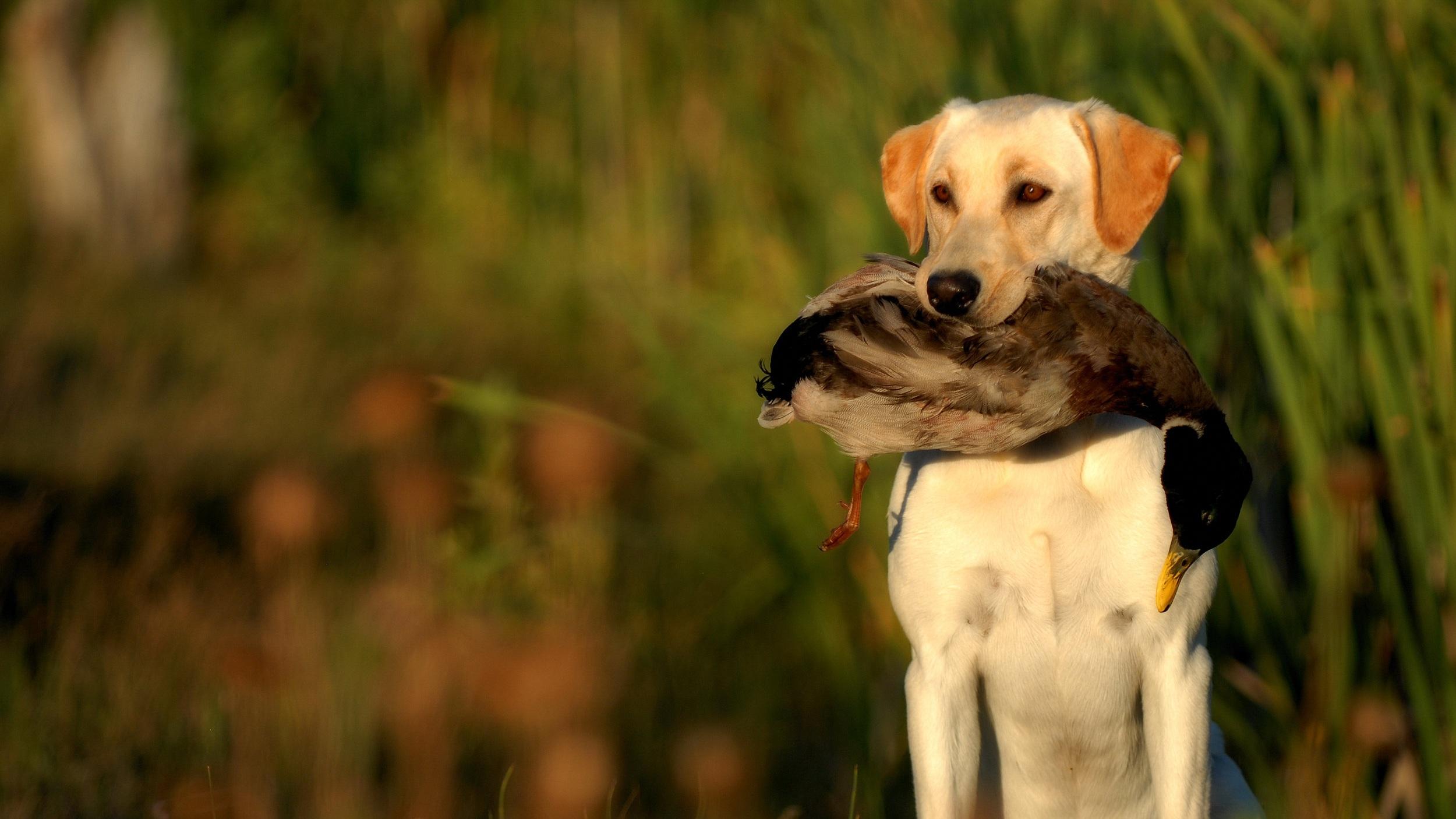 Yellow-Labrador-Retriever-Hunting-477849979_3872x2592.jpg