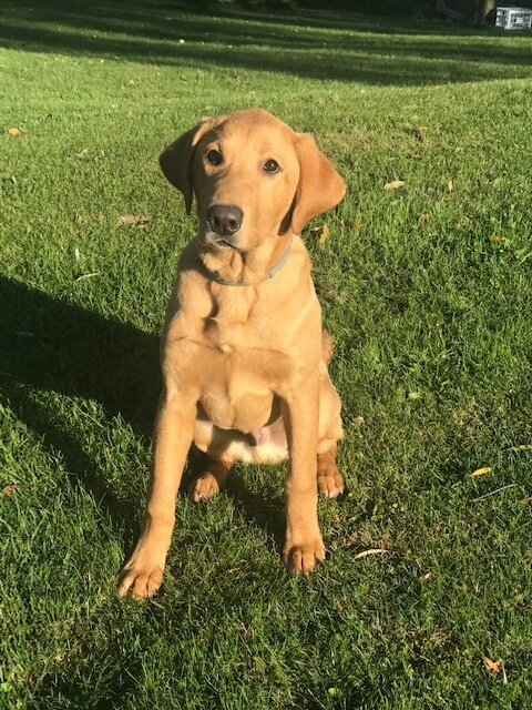 Trained Retrievers For Hunting Otter Tail Kennels