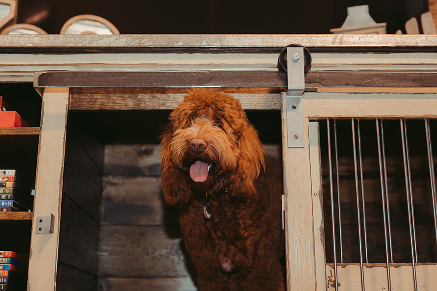 labradoodle smiling in crate