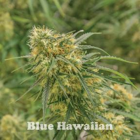 BlueHawaiian.jpg