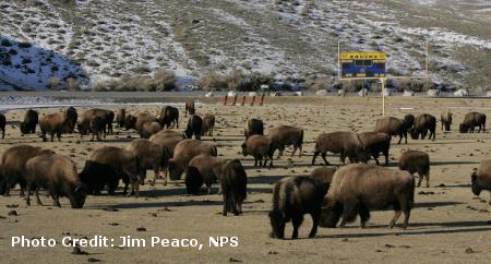 bison_herd.png