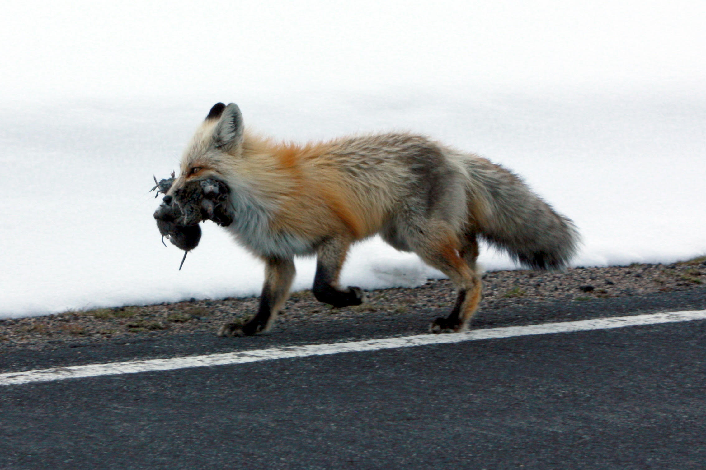 We hope you enjoy our contest and can 'fit us in' (like this fox) your adventure schedule in magical Yellowstone country. You never know what you'll run into along it's roads and trails.