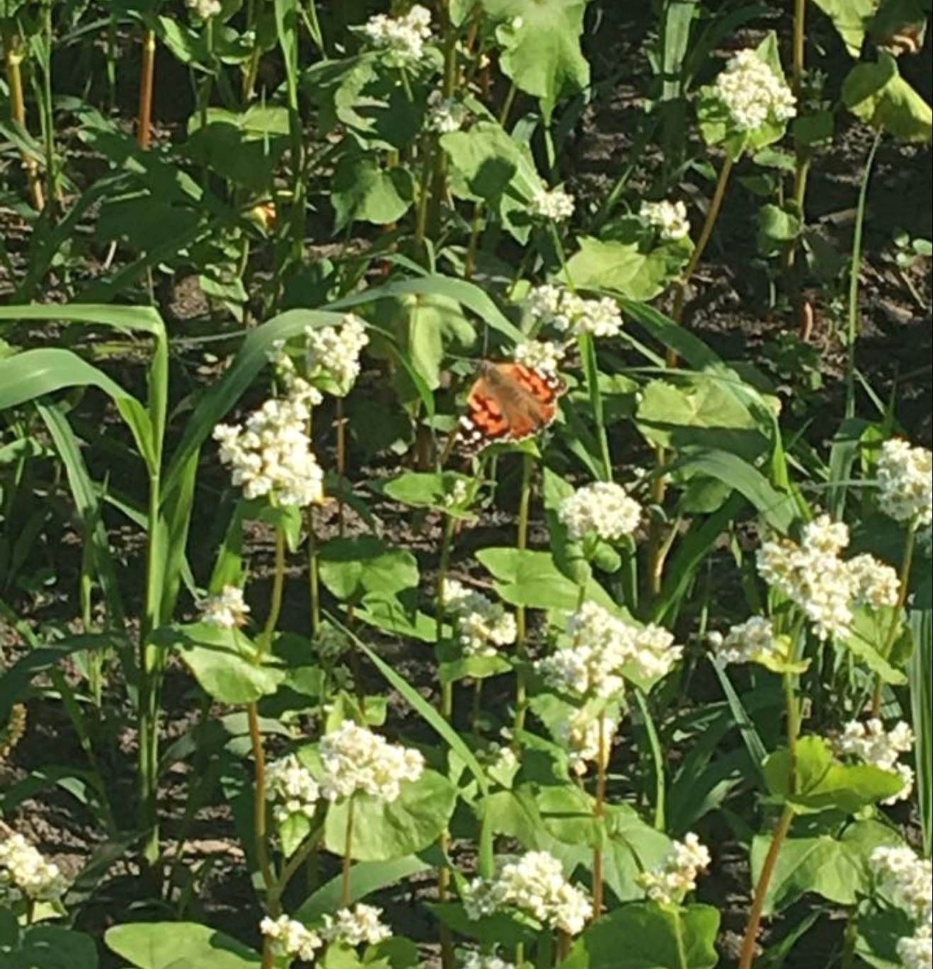 Butterflies and bees love our buckwheat fields.
