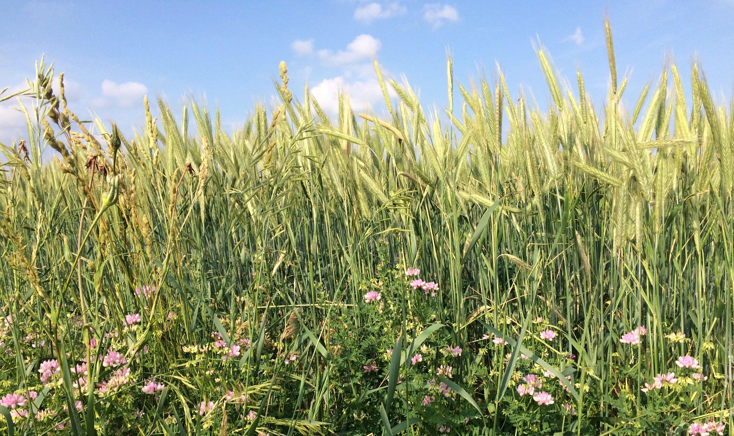 Our organic rye waves in the early June breeze. We grow heirloom Danko rye, as well as the hybrid Barsetto rye.