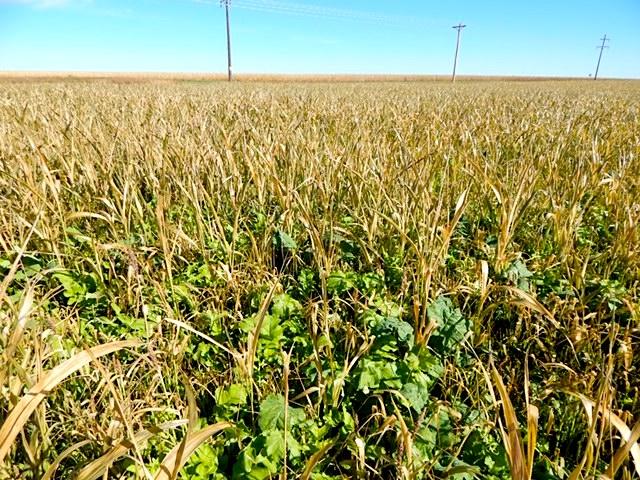 Cover crops work their magic on Luhrs Farm