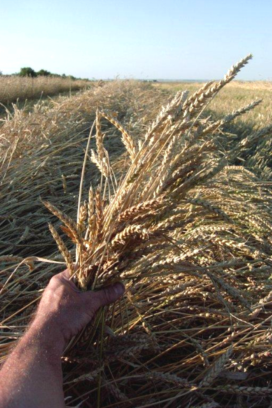 Red Fife Heritage Wheat.png