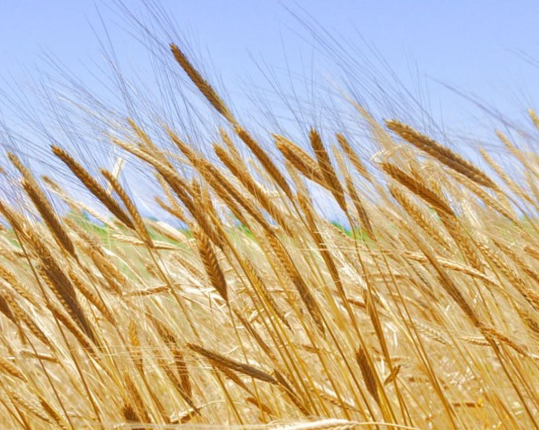 Organic Einkorn Wheat.png
