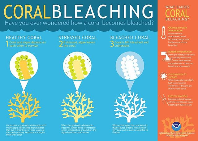 Coral bleaching...how reefs respond to #stress from factors like runoff and pollution. Do you snorkel or dive in the VirginIslands? Programs like BleachWatch VI can use your observations about reef conditions! https://www.reefconnect.org/bleachwatch/ . . And for each observation you submit, they'll buy you a beer! (Nope, made that up, it's #nottrue!)🍻 . . #stillcooltho #coralreefs #virginislands  #citizenscience #yachtcrew