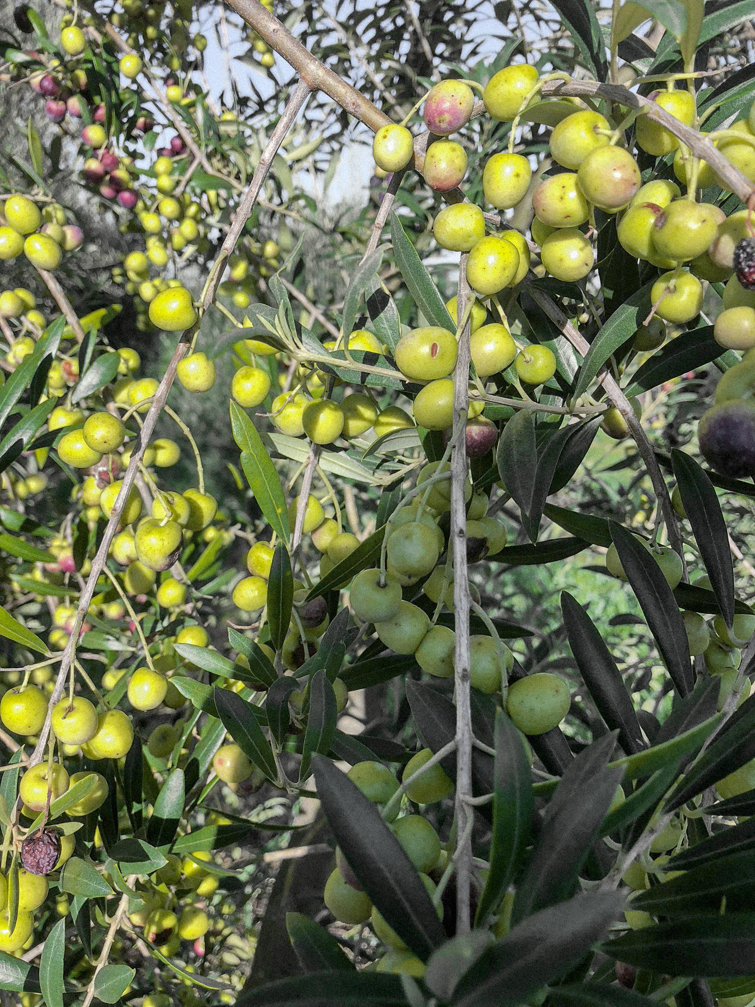 Olives up close.jpg