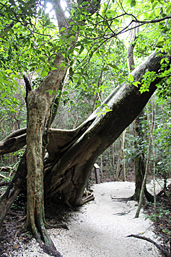Tree over trail at Simpson.png