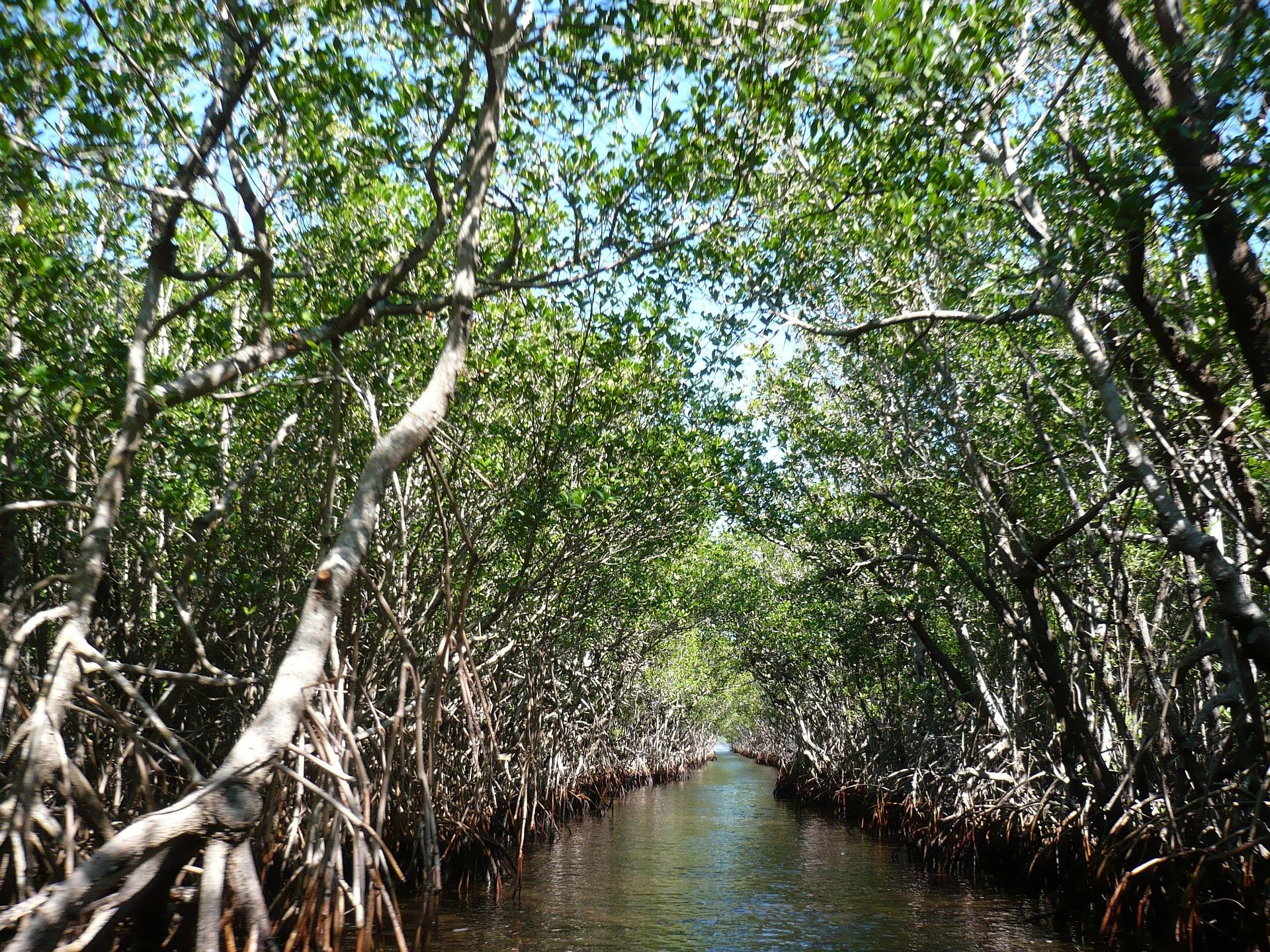 MangroveForestEverglades.jpg