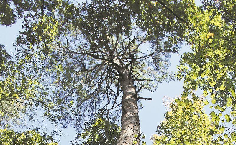 Big Pine 1.jpg