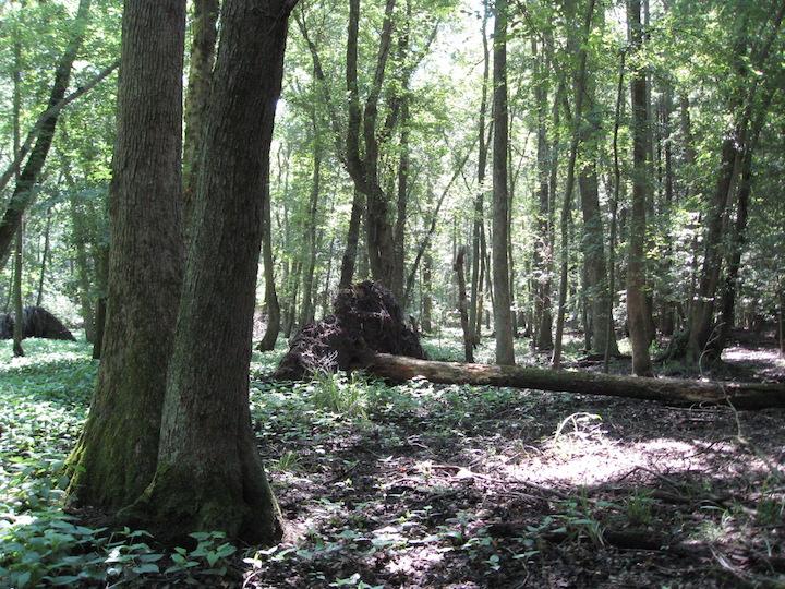 Cordrey Forest.jpg