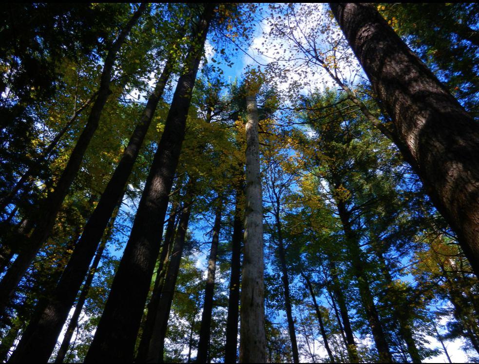 Bryant pines looking up.jpg