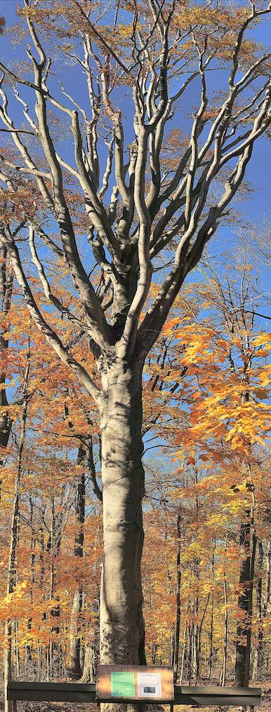 beech-tree2.JPG