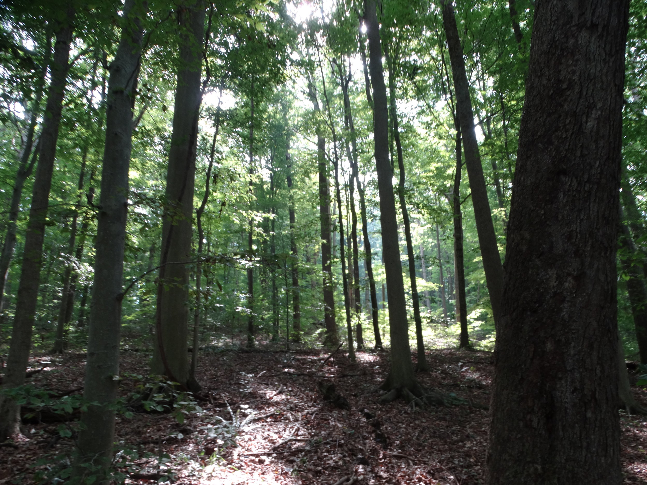 Old Growth Forest 011.JPG