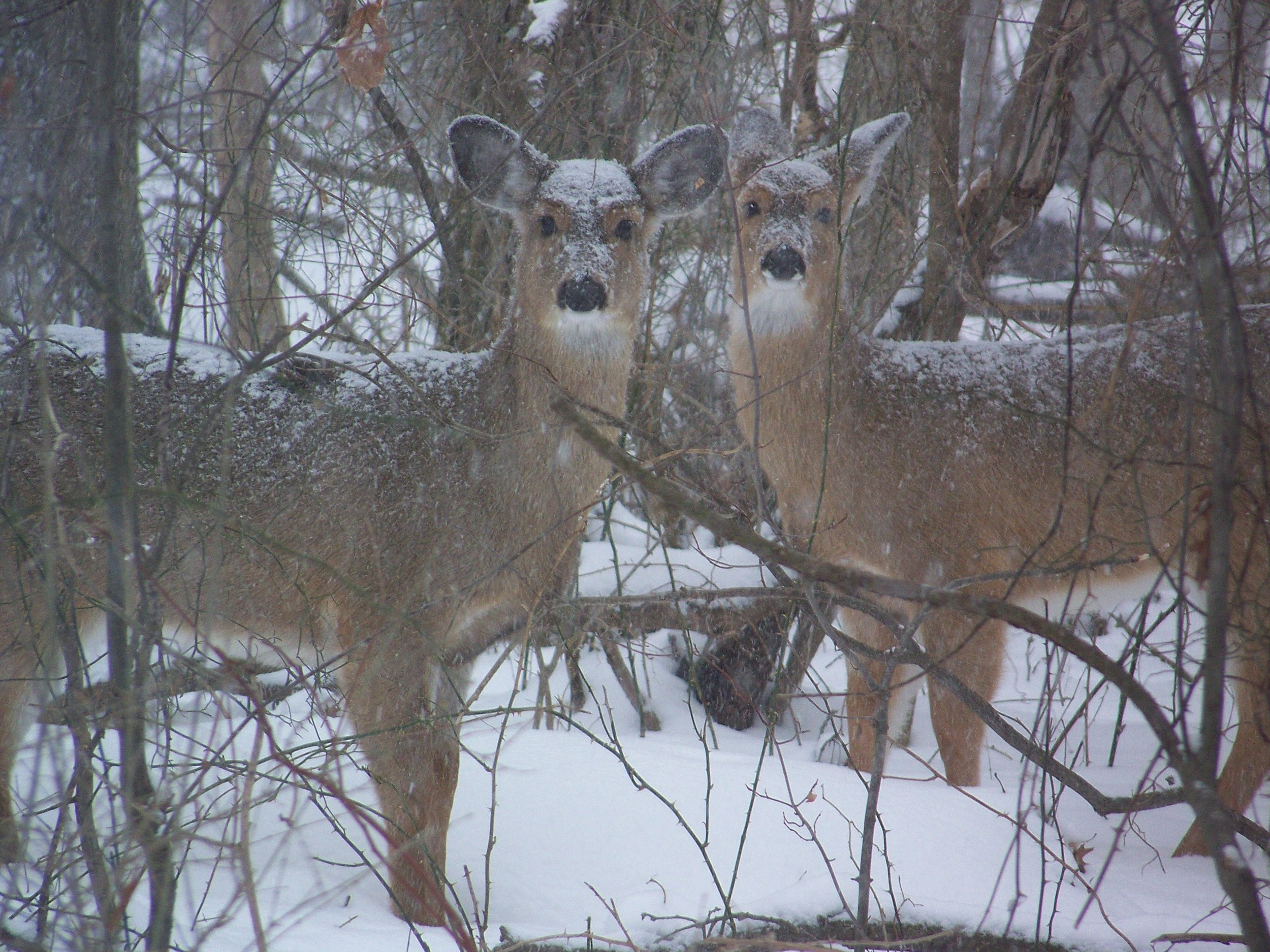 deer in st johns woods.jpg