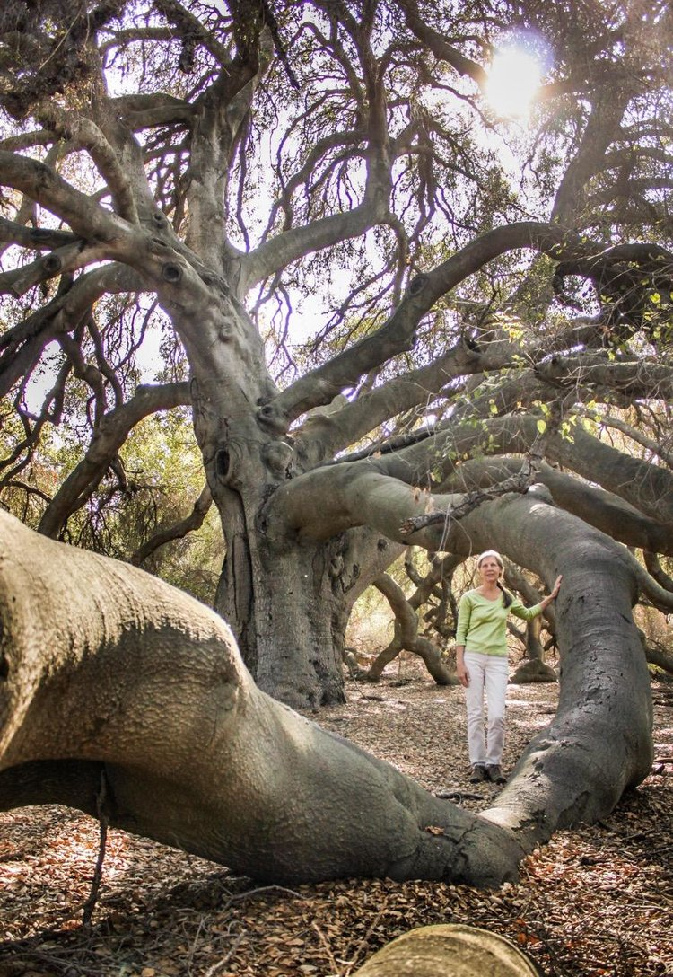 """Dr. Joan Maloof, founder of the Old-Growth Forest Network, standing with """"The Great Oak"""" in Temecula, CA. Photo by Jamie Phillips."""