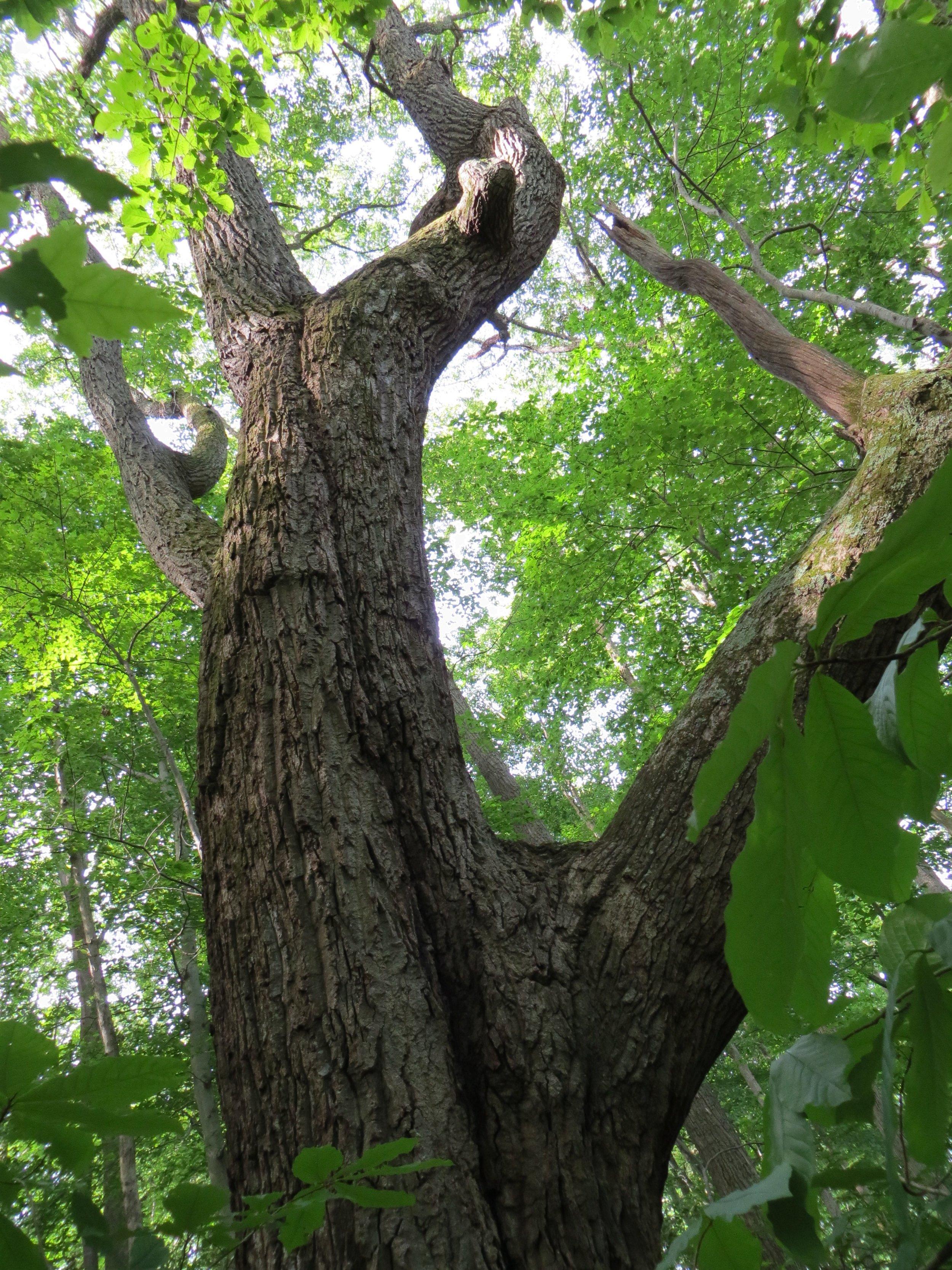 Quercus montana (Chesnut oak).jpg