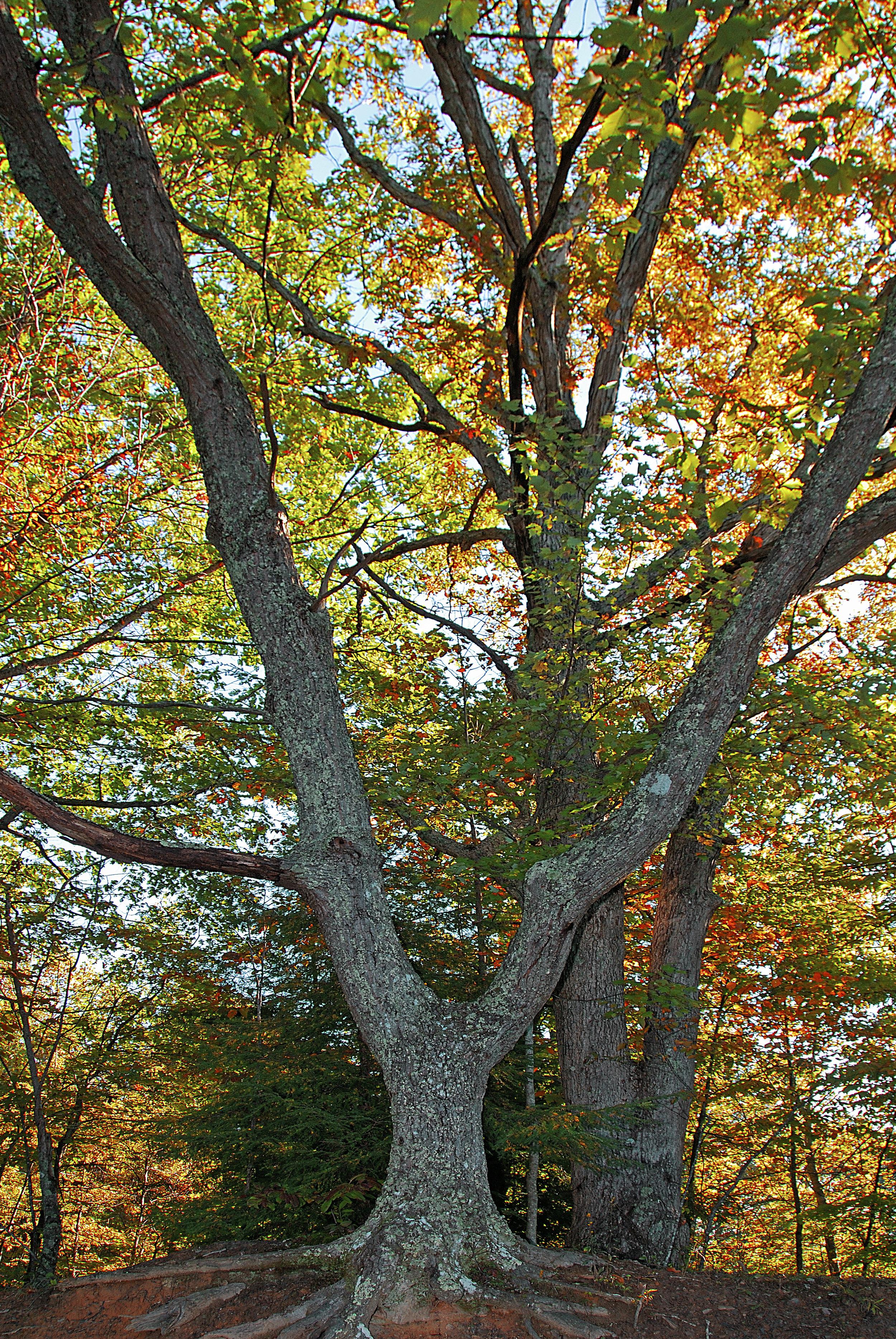 Chestnut Oak Tree 1b HiRes copy.jpg