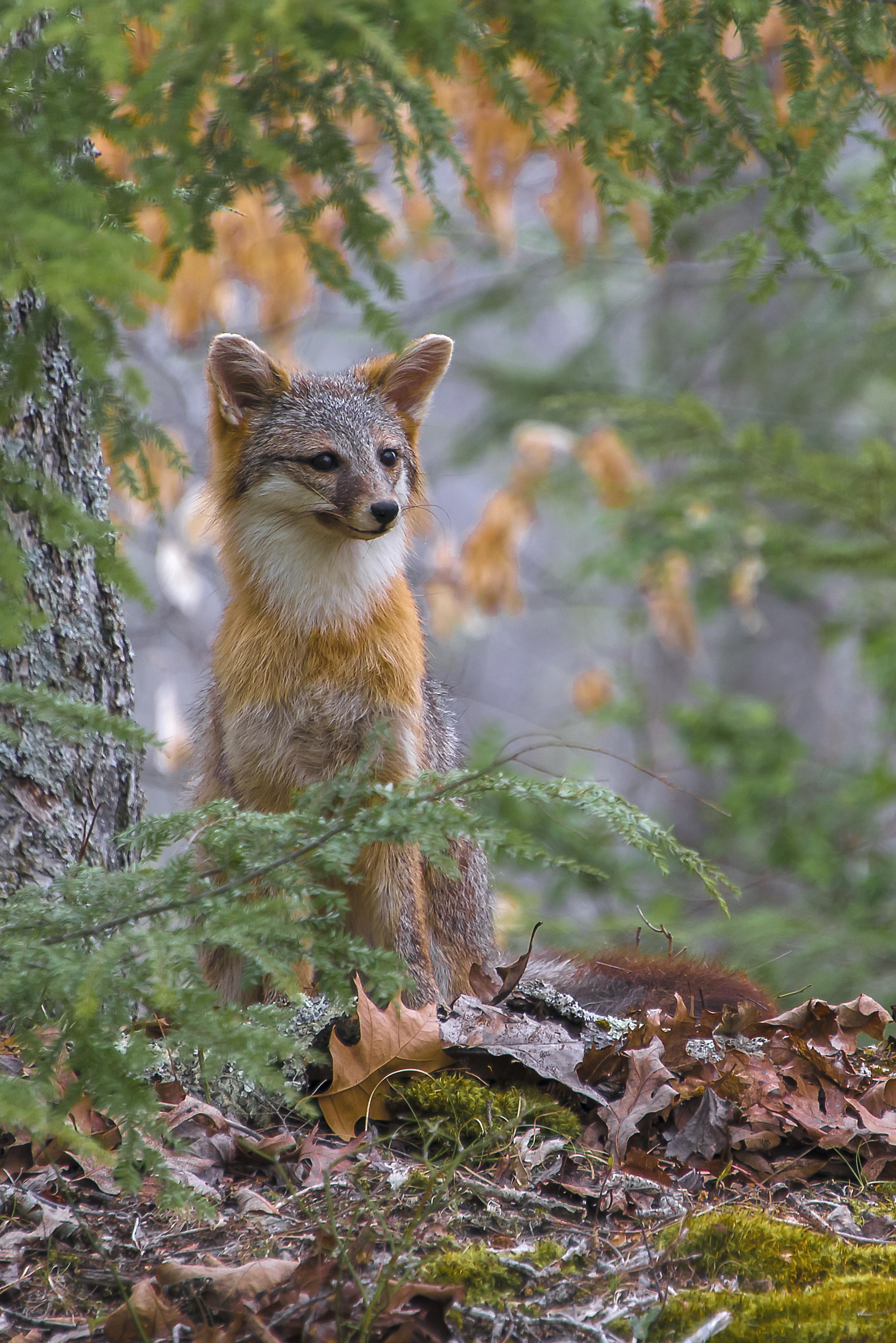 Grey Fox 102C.jpg