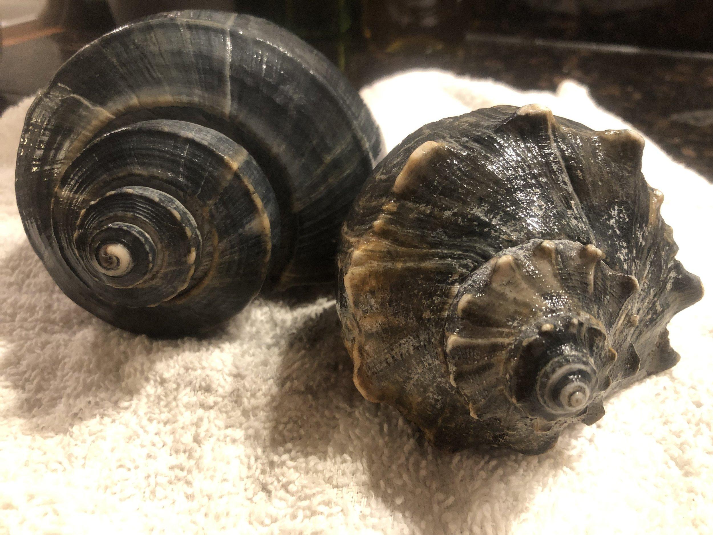 channeled vs knobbed whelk.jpg