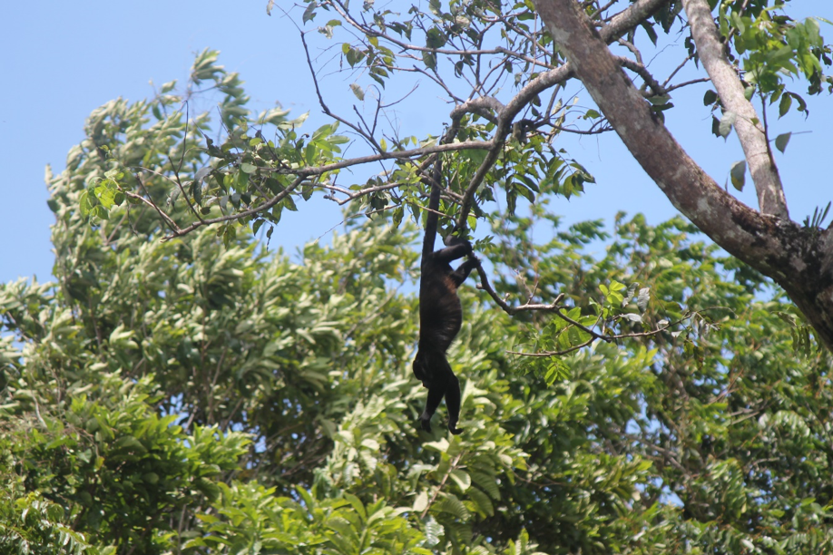Species like the  Alouatta palliata , present in the Cuango Farm, could use the farm as a biological corridor between natural forests inside the farm