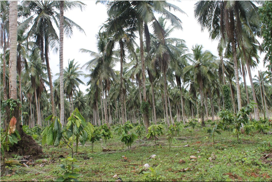 Young plantlets growing under moderate profitable shade of coconut in Ambrosia Farm