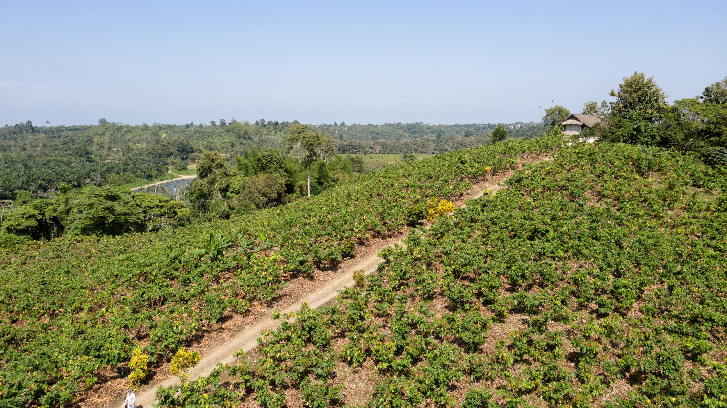 Cocoa plantation_Ecuador_Guantupi_by_GavieroFilms