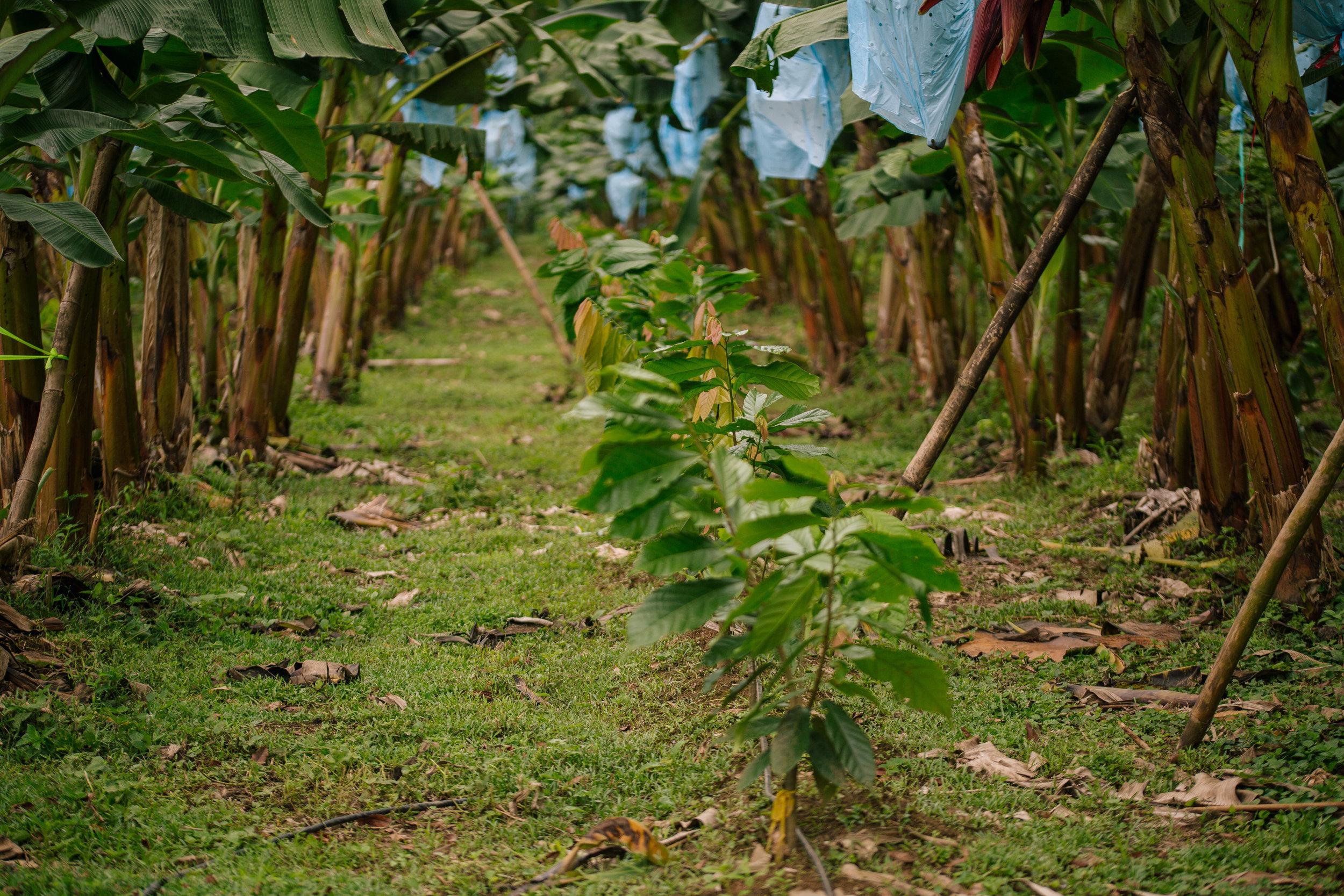 cuango12tree165.JPG
