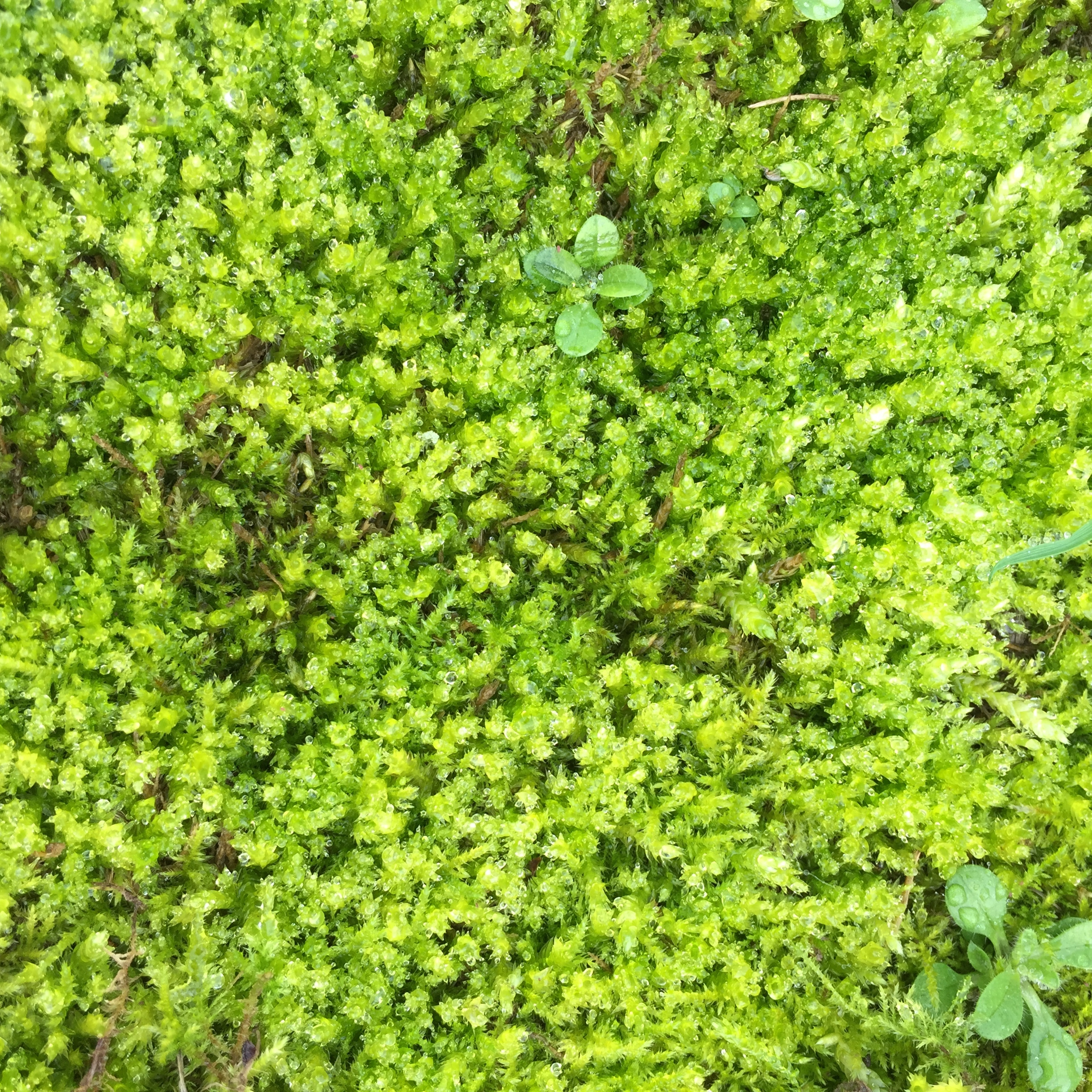 Moss  may not be what you want in your lawn, but here it adds to the biodiversity of the Rec. Moss has many uses, healing wounds being one of them! It saved many soldiers lives in WW1!