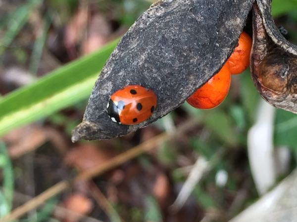 ladybird_9173.jpg