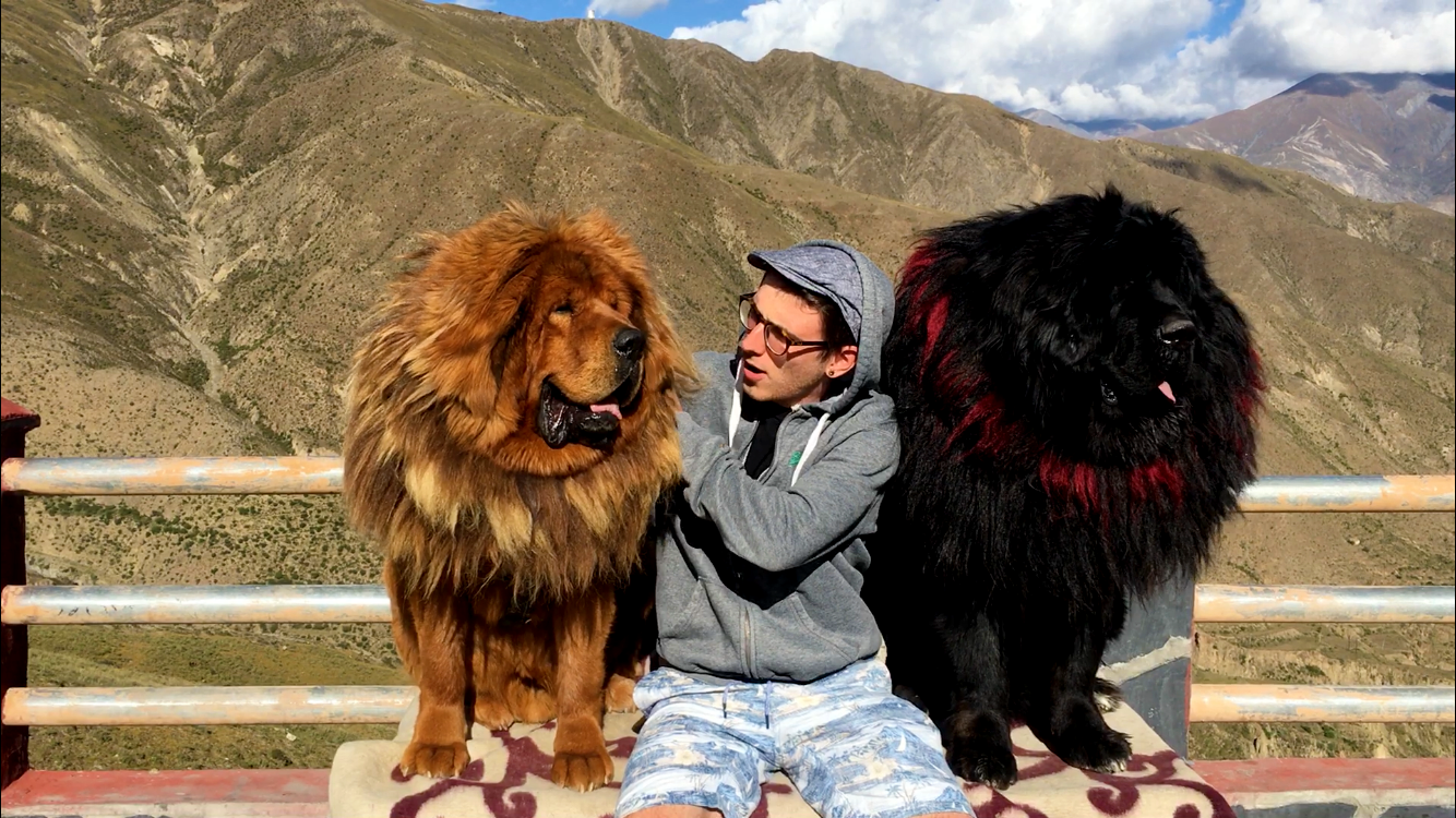 Chilling with Tibetan Mastiffs in Lhasa.