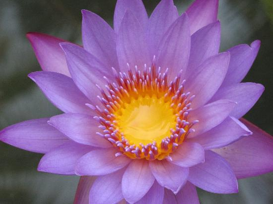 the-purple-lotus.jpg