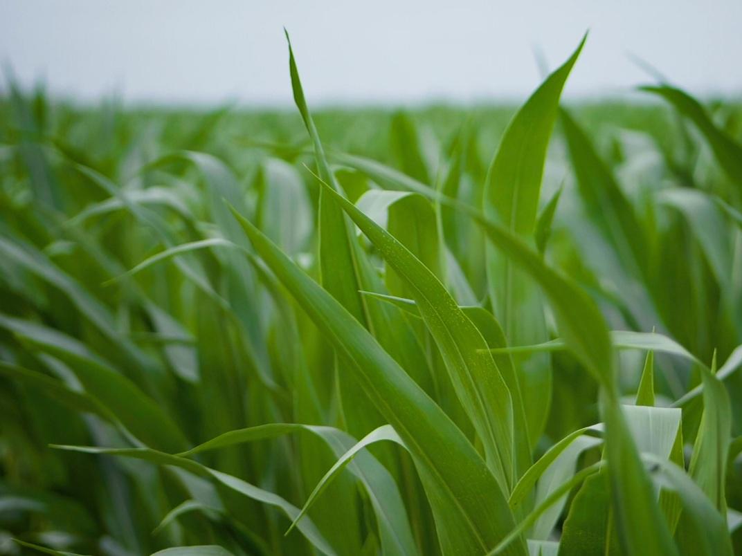 Corn leaves closeup.jpg