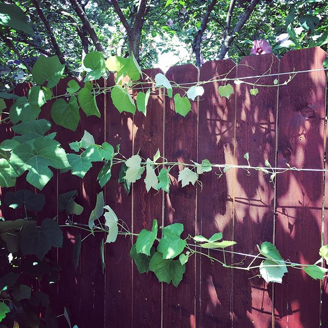We are loving the look of this grape trellis that we added to a client's fence this week.  Vines are such a fun way to grow food in a small vertical space and create a lush look in the yard.  #vitis #ediblelandscaping