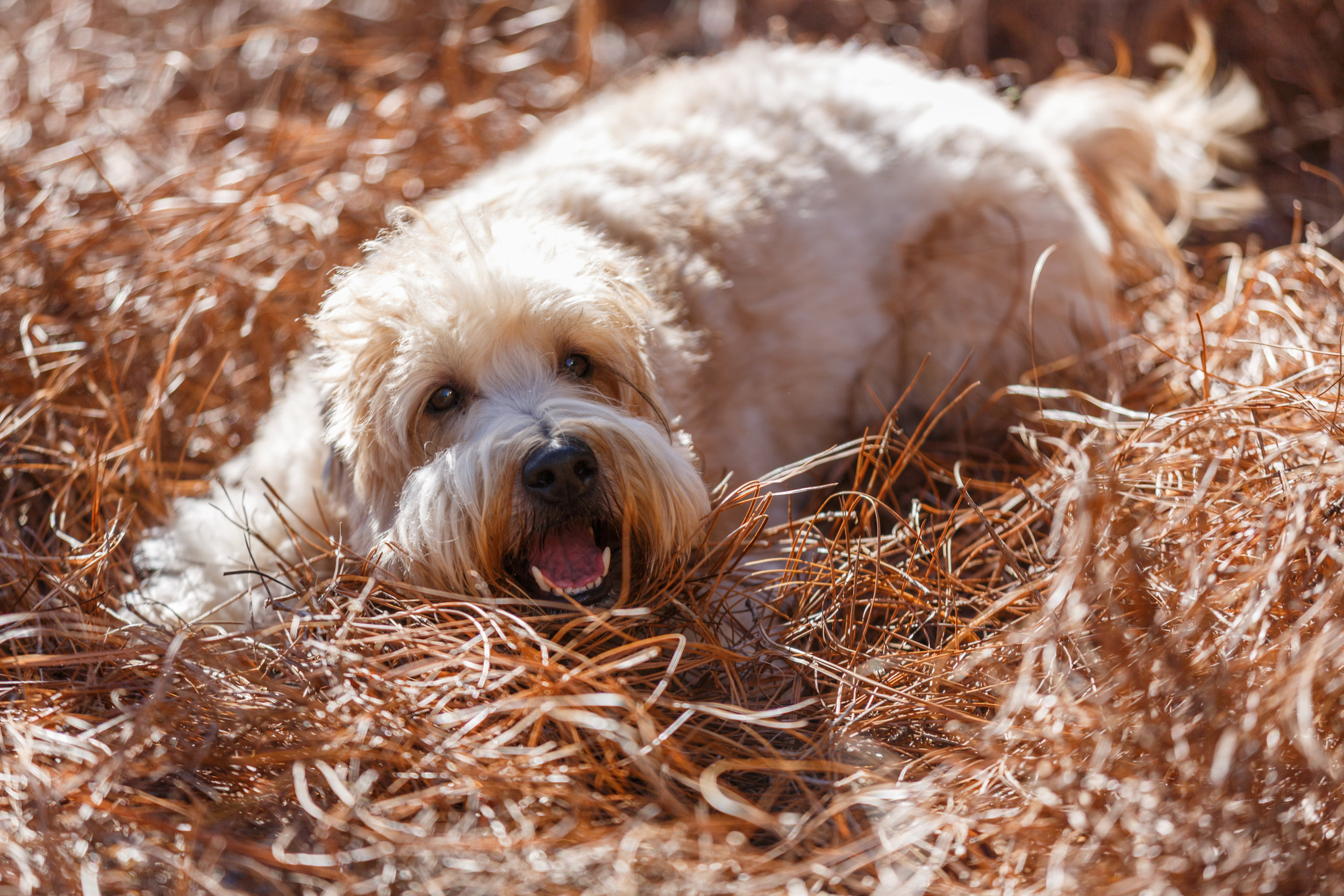 2016 Thomas Family Terriers 483.jpg