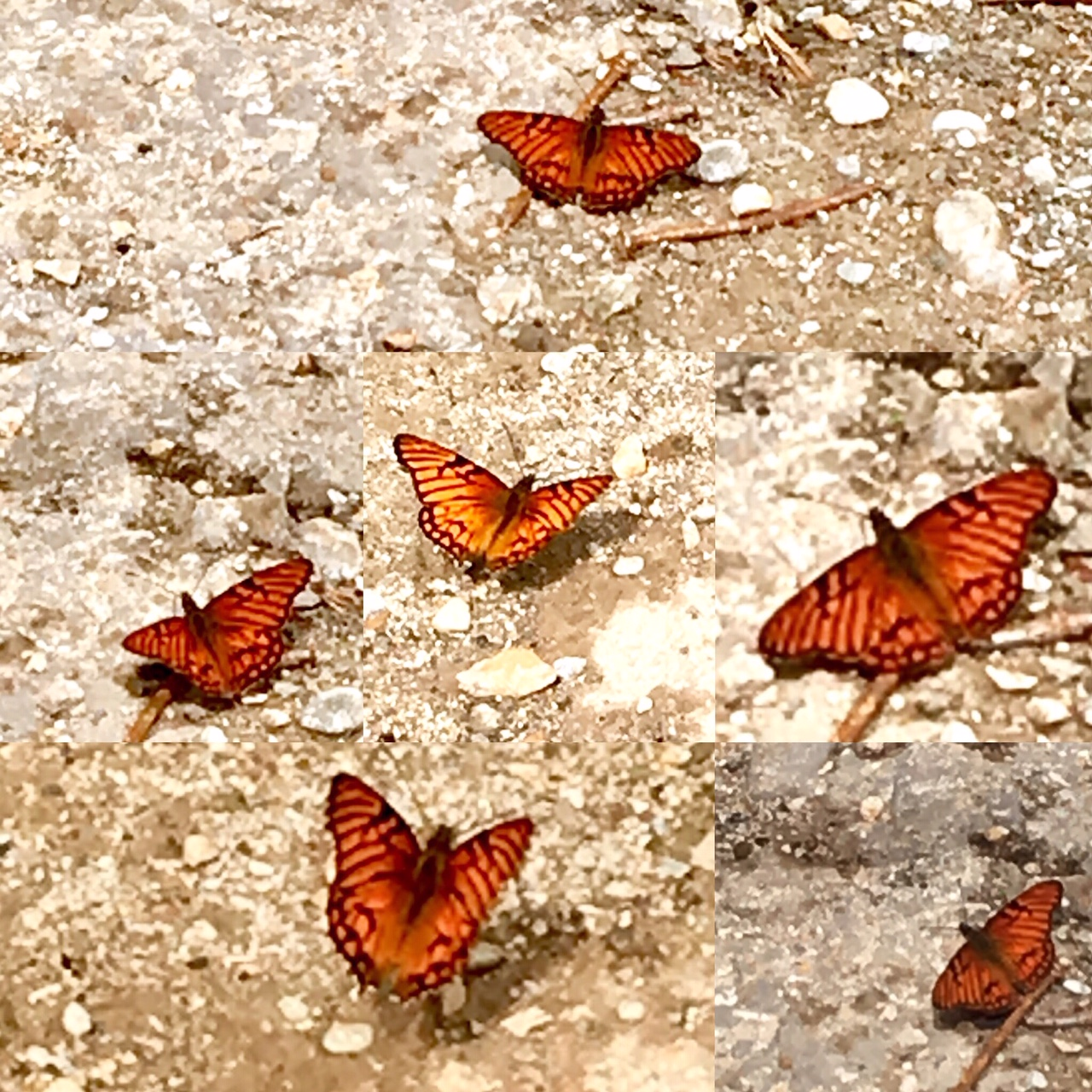 Grouped Butterflies.JPG