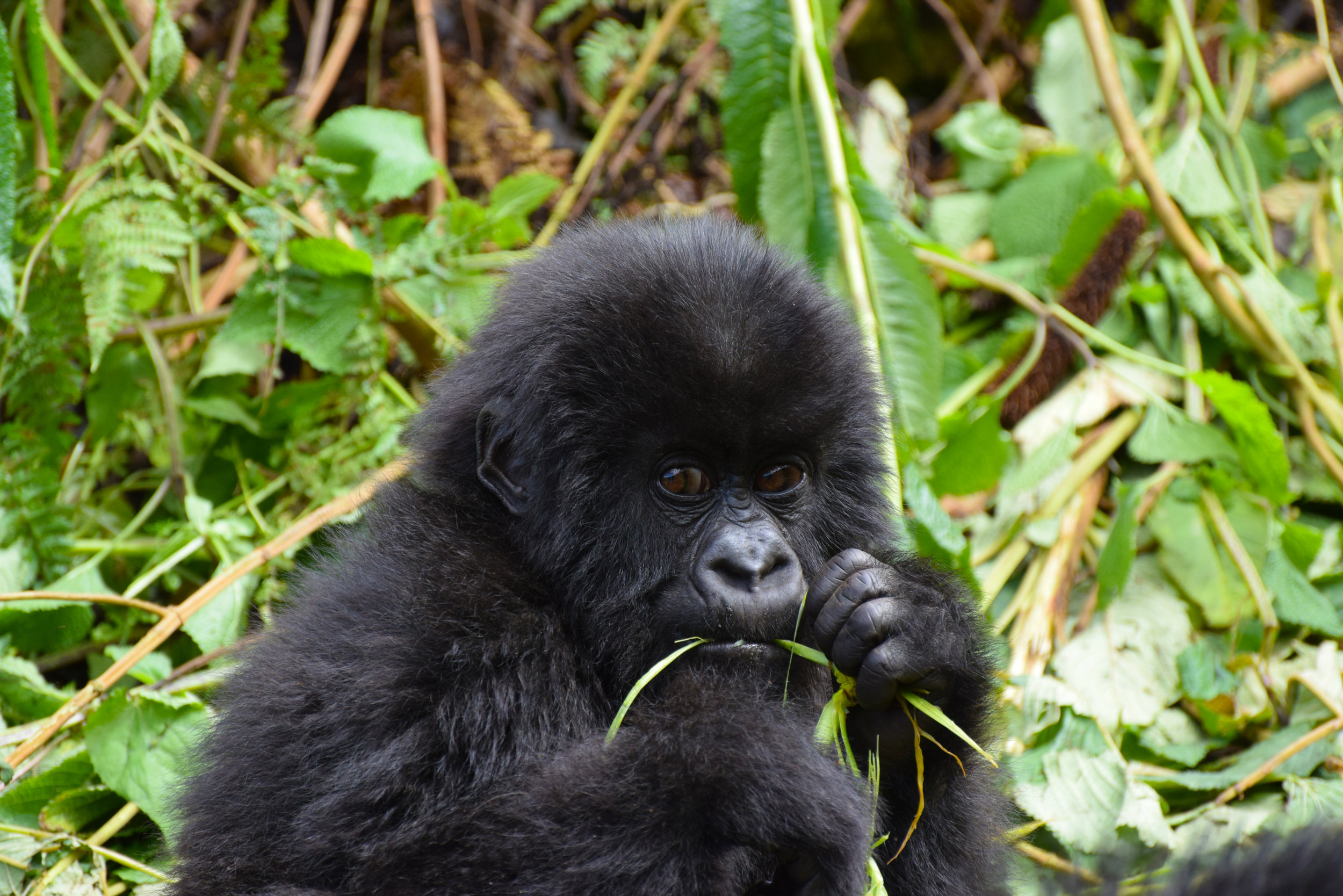 Trek with Gorillas in Volcano National Park - Tiny but mighty, Rwanda is often referred to as the beating heart of Africa and it's easy to see why. Thanks to its location just a few degrees below the equator, the lush and mountainous countryside is home to populations of endangered mountain gorilla and golden monkeys in the world-renowned Volcanoes National Park.