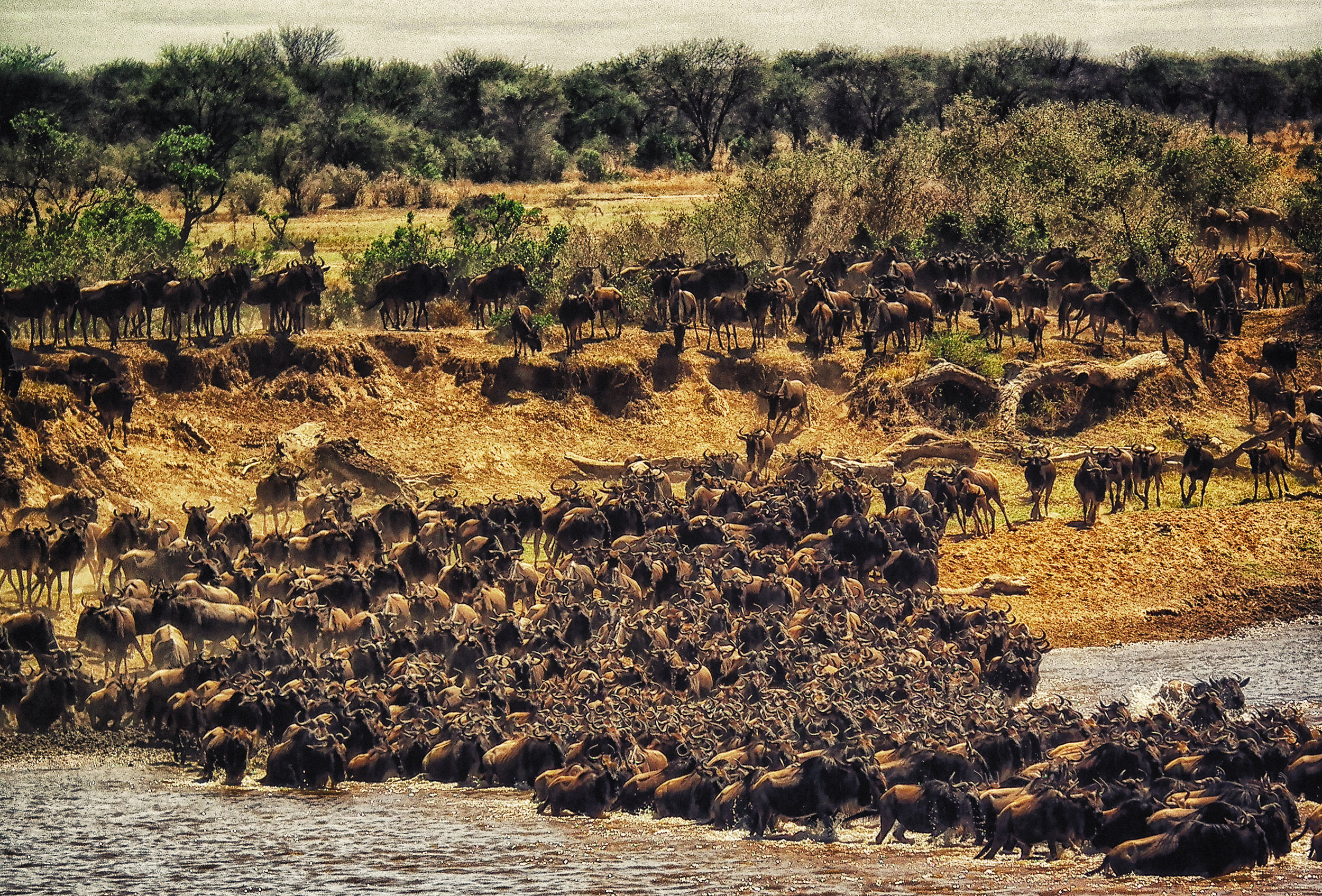 Chasing the Great Migration - No amount of research will prepare you for witnessing this awe-inspiring natural phenomenon. The key players in this 1,200-mile odyssey are the wildebeest – 1.5 million of them – accompanied by 200,000 zebras. Every year is an endless journey, chasing the rains in a race for life. Watch thousands of wildebeests migrate across wild plains, witness lion hunt and kill prey, enjoy amazing scenery, and prepare yourself for a safari experience like no other.