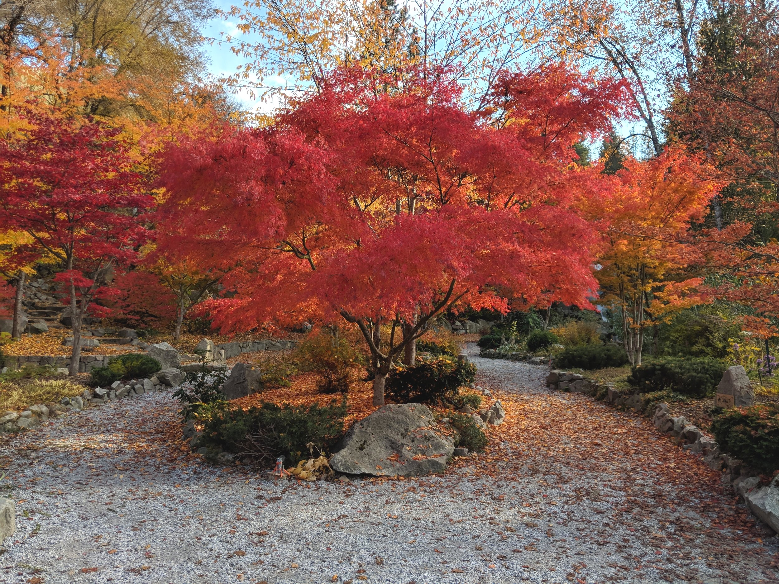 A Japanese Maple at Cottonwood Falls park - five minute walk from campus