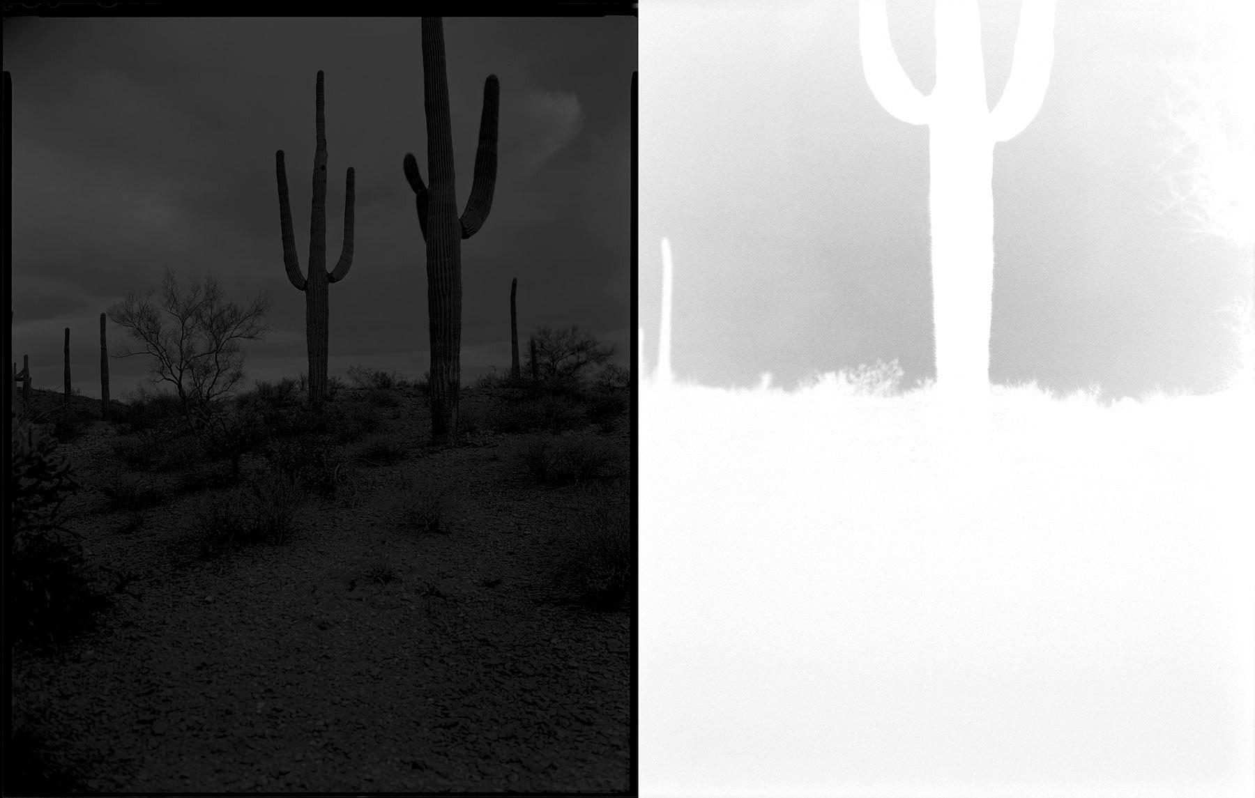 saguaro forest, sauceda mountains, arizona  2015