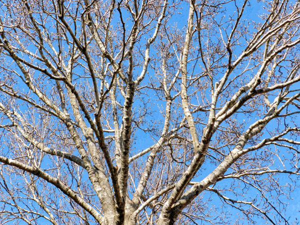 Bare-Tree.png