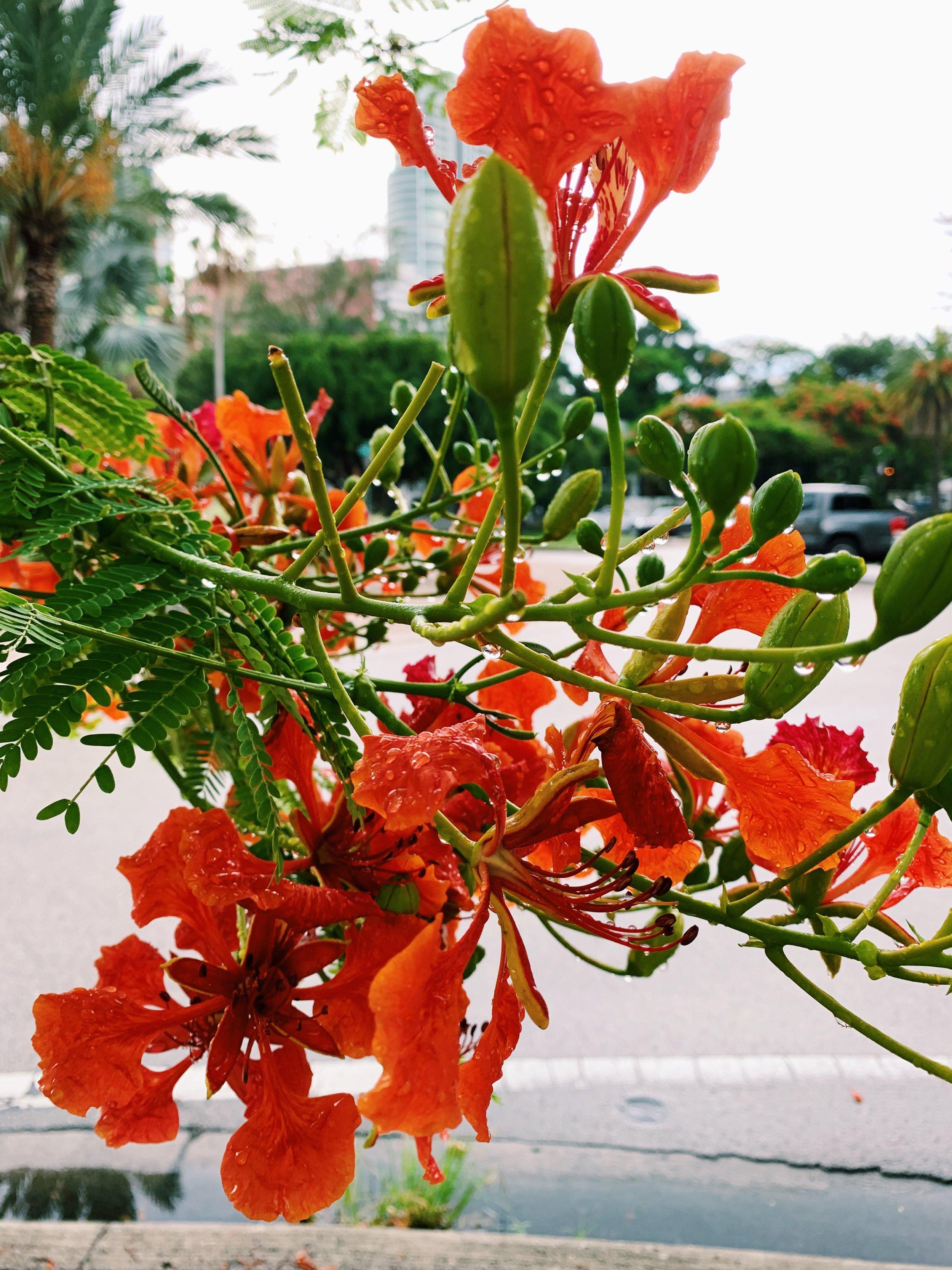 Royal poincianas | everywhere