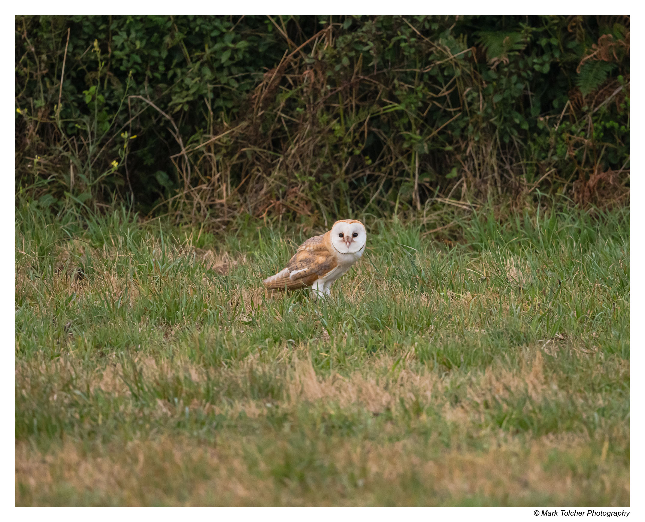 Early Morning Barn Owl after breakfast