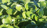Baby watercress  Ideal for sandwiches