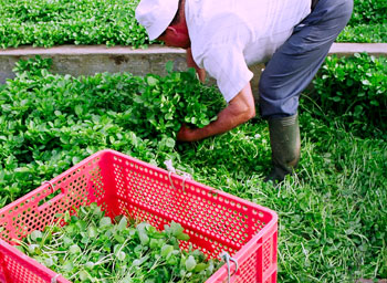 Farmer works with high rubber boots and a large knife, he is cutting watercress of artificial springs in San Anton (Photo report: Yuri Millares).