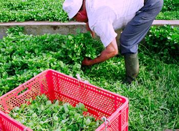 Con botas altas de goma y un enorme cuchillo, este agricultor de San Antón trabaja en los manantiales cortando berros (Reportaje fotográfico: Yuri Millares).