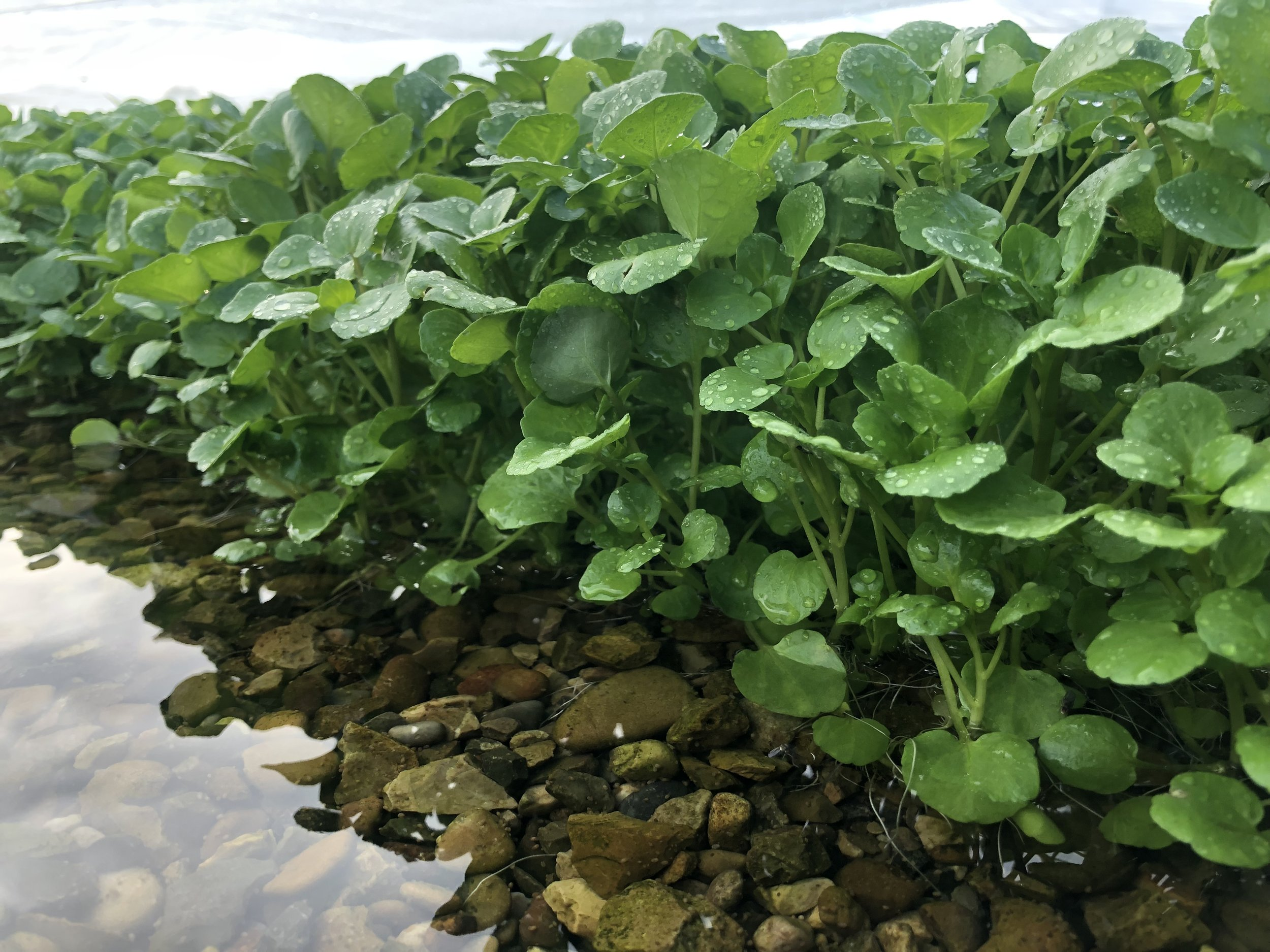 cress gravel water.jpg