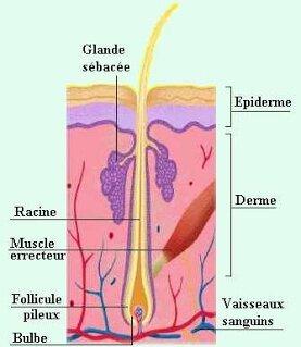 Schéma coupe de la peau